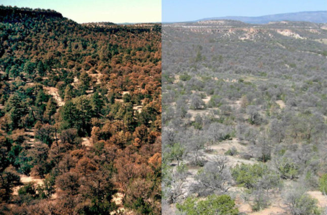 A massive die-off of pinyon pines in New Mexico's Jemez Mountains, caused by drought in 2002-2003.